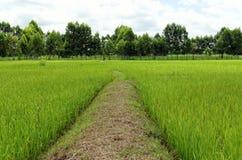 Гребень поля риса Стоковые Изображения