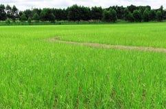 Гребень поля риса Стоковые Изображения RF