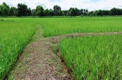 Гребень поля риса Стоковые Фото