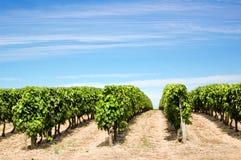 гребет виноградник Стоковое Изображение RF
