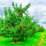 Гребите деревья 0f вполне зрелых плодоовощей в северной части штата Нью-Йорке яблоневого сада Стоковое Изображение RF