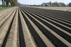Гребни картошки в поле картошки, Нидерландах Стоковая Фотография
