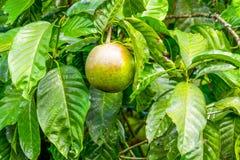 Грейпфрут готовый быть сжатым Стоковые Фото