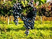 Грейпфрут готовый для того чтобы произвести красное вино Стоковое Фото