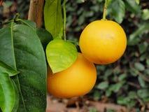 Грейпфрут на дереве Стоковое Изображение RF