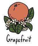 Грейпфрут Стоковая Фотография RF
