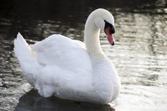 Грейс лебедя Стоковое Фото
