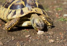 Грек Turle ест камень Стоковое Изображение