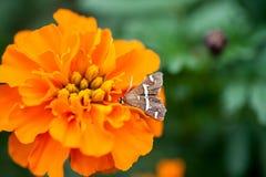 гремя сумеречница цветка Стоковые Изображения RF
