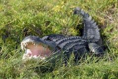 греть на солнце аллигатора Стоковая Фотография