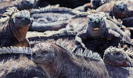 греть на солнце утеса игуан морской Стоковое Изображение RF