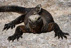 греть на солнце утеса игуан морской Стоковые Фотографии RF