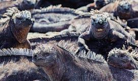 греть на солнце утеса игуан морской Стоковое фото RF