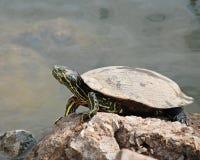 греть на солнце черепаха Стоковое фото RF