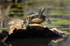 греть на солнце черепаха Стоковая Фотография RF