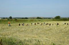 Греция, козы на выгоне Стоковое Фото