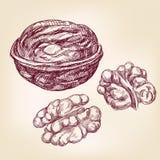 Грецкие орехи вручают вычерченный эскиз иллюстрации вектора Стоковая Фотография