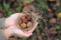 Грецкие орехи в гнезде Стоковая Фотография RF