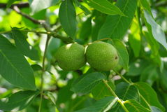 Грецкие орехи в зеленой коже Стоковое Фото