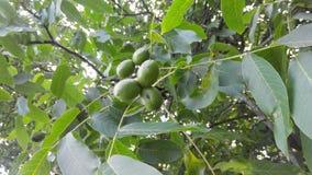 Грецкие орехи лет Стоковые Изображения RF