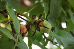 Грецкие орехи на вале Зеленое дерево грецкого ореха стоковое изображение rf