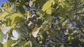 Грецкие орехи на вале сток-видео