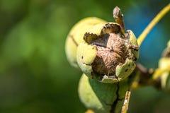 Грецкие орехи на вале стоковое фото rf