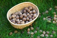 Грецкие орехи на траве в естественной корзине Стоковое фото RF