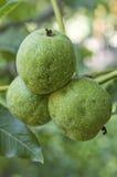 Грецкие орехи с зеленой шелухой на ветви дерева Стоковое фото RF