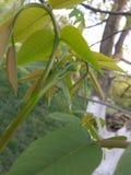 Грецкий орех весной Стоковая Фотография RF
