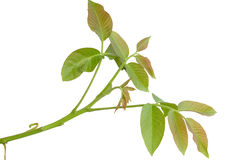 грецкий орех ветви Стоковое фото RF