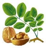 грецкий орех гайки листьев Стоковая Фотография RF