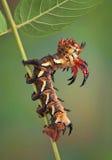 грецкий орех гусеницы Стоковые Изображения RF