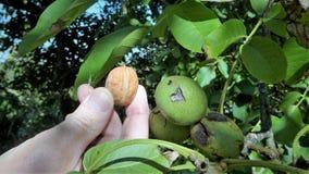 Грецкий орех зреет на дереве Стоковая Фотография