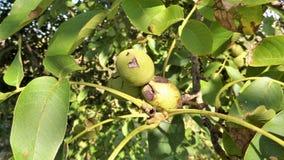 Грецкий орех зреет на дереве Стоковые Изображения