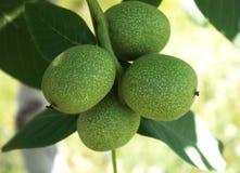 Грецкий орех на дереве Стоковые Изображения