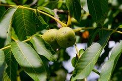 Грецкий орех, грецкий орех плодоовощ, деревянный грецкий орех, отечественный грецкий орех, природа Стоковая Фотография RF