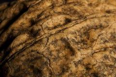грецкий орех раковины Стоковое Изображение RF