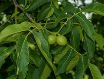 Грецкий орех растя на дереве Стоковое Изображение RF