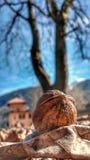 грецкий орех сада упал рядом с деревом стоковое изображение rf