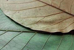 грецкий орех текстуры листьев Стоковые Фотографии RF