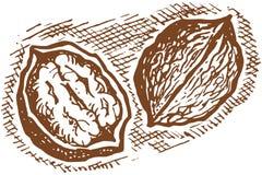 грецкий орех иллюстрация штока