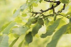 2 грецкого ореха в ветвях стоковые фотографии rf
