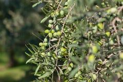 Греческая деталь оливковой рощи, селективный фокус Стоковые Изображения