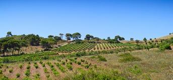 Греческий виноградник Стоковые Изображения RF