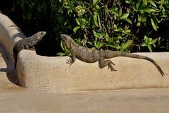 Греются 2 ящерицы в солнце Стоковое Фото