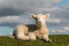Греясь маленькая овечка Стоковое Изображение RF
