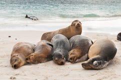 Греясь морсые львы Галапагос спать на пляже Стоковое Изображение