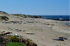 Греясь уплотнения слона, Тихоокеанское побережье, около залива Morro, Калифорния, США Стоковые Изображения