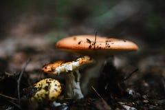 2 гриба в зеленой траве Стоковые Фотографии RF
